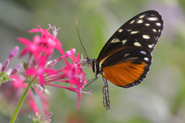 Tiger Longwing butterfly (Heliconius hecale) feeding on red flower and seen from profile