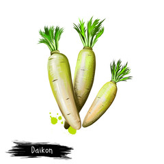 Digital art illustration of Daikon or Raphanus sativus isolated on white background. Organic healthy food. Green vegetable. Hand drawn plant closeup. Clip art illustration. Graphic design element