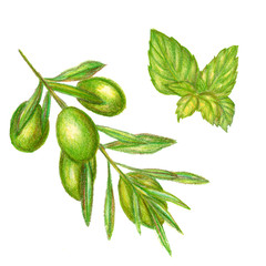 Raster cute set of pencil drawn olives and basil leaves. Food, catering, natural themes, image for books and magazines, design element.