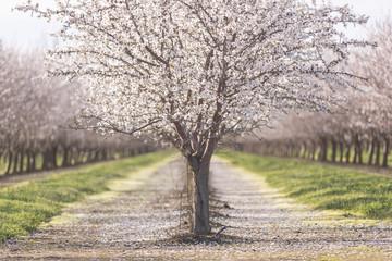 Almond trees at farm