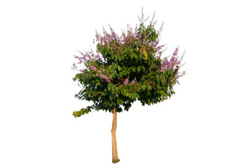 tree Inthanin, Queen s flower, Pride of India, Lagerstroemia macrocarpa Wall middle large tree with beautiful purple flowers and hard shell brown seeds