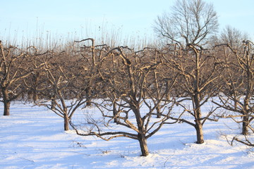 Grapes of Snow