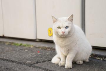Odd Eye's white stray cat