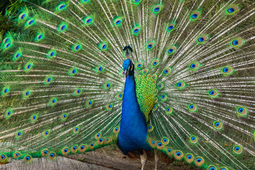 Beautiful peacock showing it feather