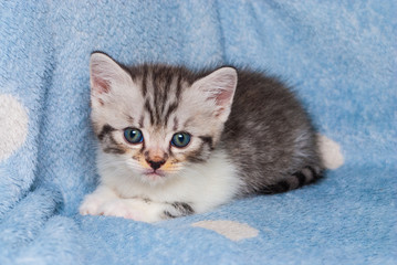 Closeup to Blue Eyes Persian American Shot Hair Kitten