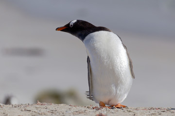 Stretching Gentoo penguin at Falkland Islands.