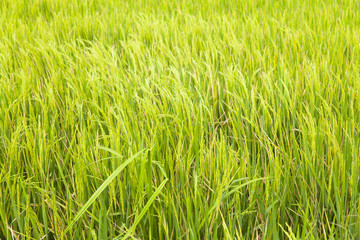 Close up of yellow paddy rice field