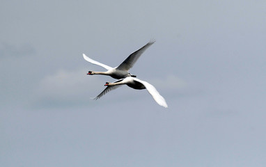 Pair of swans flying over the River Danube at Zemun in the Belgrade Serbia.