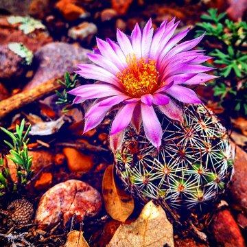 Blooming Cactus Flower! Show Low, Arizona