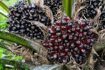 fruit of the oil palm on tree (elaeis guineensis)
