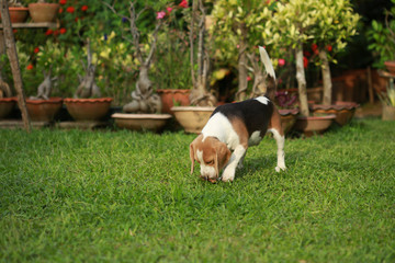 Purebred adult and puppy beagle dog are playing in lawn