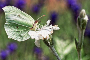 Outdoor color portrait of a single isolated green brimstone butterfly sitting on a white blossom drinking nectar, taken on a sunny summer day with blurred colorful green and violet natural background
