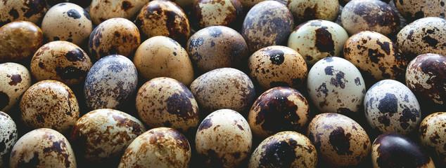 Quail eggs. Panorama.