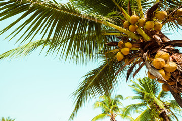 Coconut palm trees and coconut fruit at tropical coast, vintage effect filter and stylized