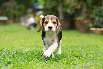 purebred beagle dog looking for somthing, searching and resting in 