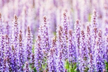 Lavender flowers and honey bee, photo filter
