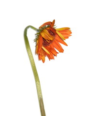 Faded Gerbera flower on white background