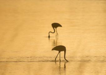 couple of flamingos at dawn backlit