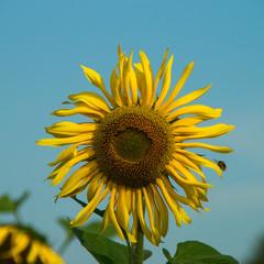 Sonnenblume mit Hummel vor blauem Himmel