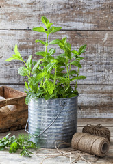 Mint plant in a tin can at an urban garden