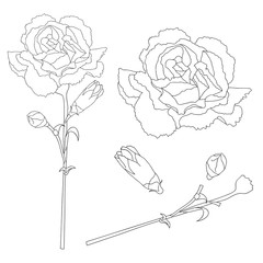 Dianthus caryophyllus Outline - Carnation Flower, Clove Pink. National flower of Spain, Monaco, and Slovenia. Vector Illustration.