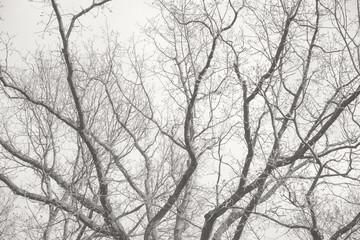 Baumkrone, verzweigt, schwarz weiß