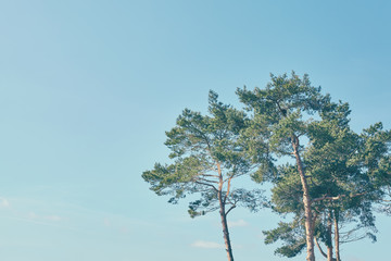 Color toned picture of pine trees with blue sky in background, copy space.