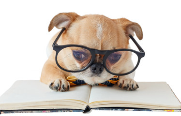 Chihuahua dog with notebook.