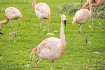 Group of flamingos in a prairie, Phoenicopterus chilensis