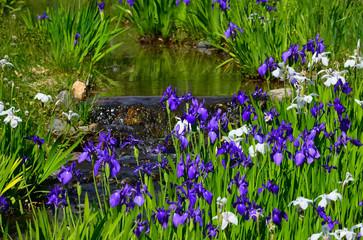日本庭園のカキツバタ