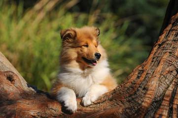 Portrait of rough collie dog