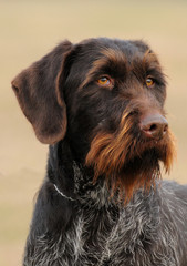German Wirehaired Pionter, deutsch drahthaar dog.