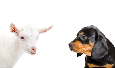 Portrait of a little goat and a dog breed Slovakian Hound, closeup, isolated on a white background