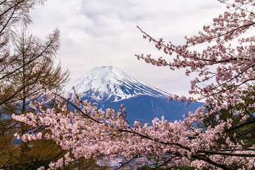 The Mount Fuji. The foreground is cherry blossoms.The shooting location is Lake Kawaguchiko, Yamanashi prefecture Japan.