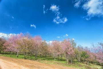 Wild Himalayan Cherry Blossom Flower with blue sky at Phu Lom Lo, Loei, Thailand,Phuhinrongkla National Park