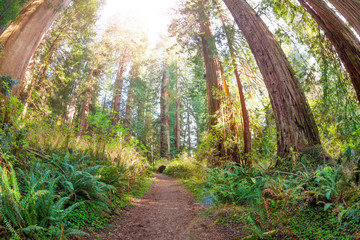Path through old and huge sequoias in the sun