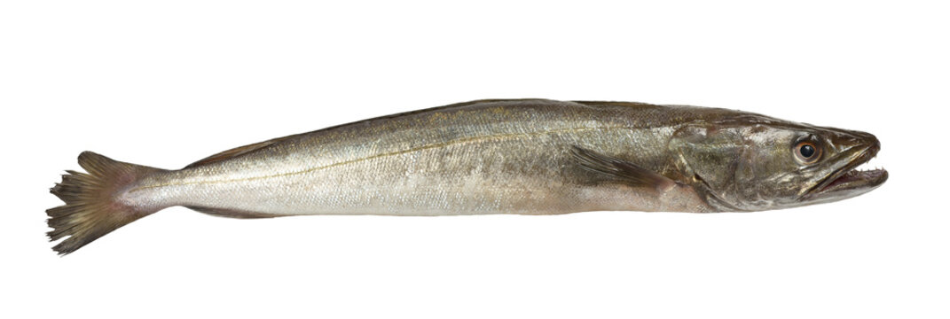 hake fish isolated