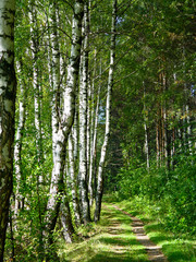 Footpath in a birch grove in the sunny day.