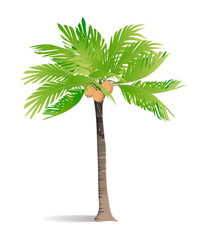 Isolated green palm on white background. Tropic exotic landscape.