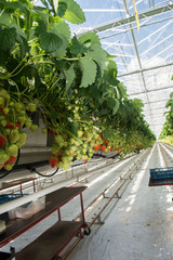 Tasty organic strawberry growth in big Dutch greenhouse, everyday harvest.