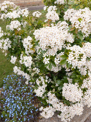beautiful bush of bunches of white flower heads in spring light with some small blue flower heads in the bottom left corner