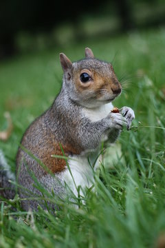 Portrait of a Western gray squirrel in the Park, the squirrel sits in the grass and eats a nut , London, UK