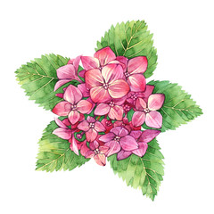 Isolated watercolor hydrangea