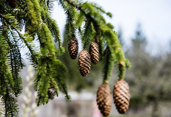 young pine cone branches closeup