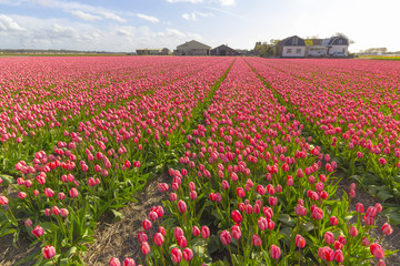Beautiful flower field in spring time in The Netherlands.