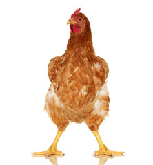 Chicken on white background, isolated object, one closeup animal