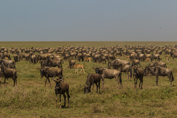 Wildebeests grazing in the Serengeti, Africa, during migration .