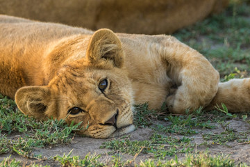 A very young lion resting in the grass in the Serengeti, Tanzania.