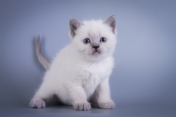 Scottish Fold small cute kitten blue colorpoint white, silver tabby