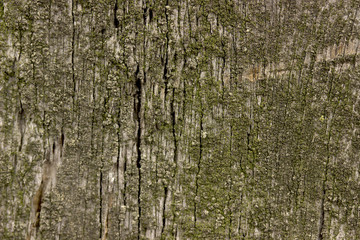 Old wood texture coverd with green moss.